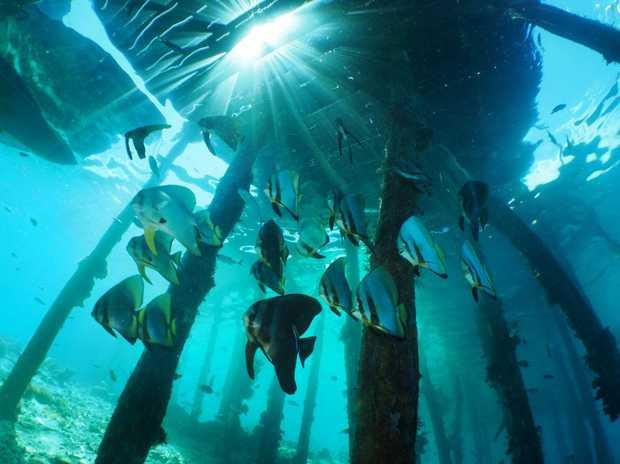 Batfish under the Arborek Jetty in the Raja Ampat region of Indonesia.