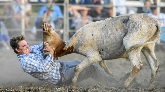 Steer wrestling action at the Maclean Twilight Rodeo.