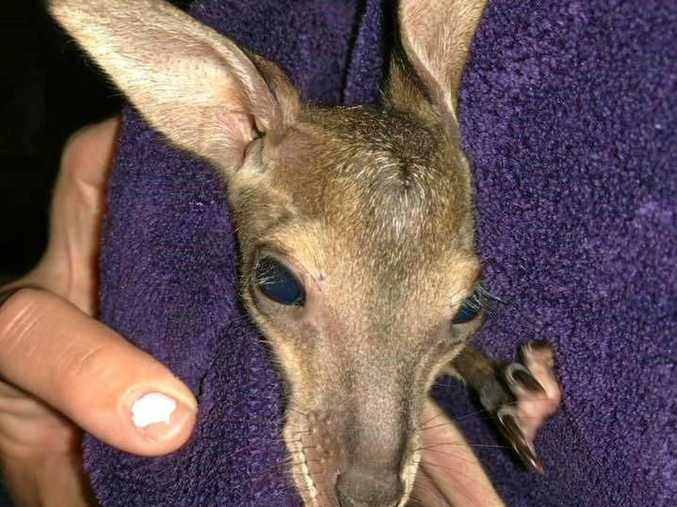 A tiny joey was rescued in Elbow Valley last night near Warwick.