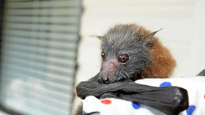 Flying foxes in the Northern Rivers are struggling this year. These are some of the rescues Lorraine Black has met as a carer for the Northern Rivers Wildlife Carer's.