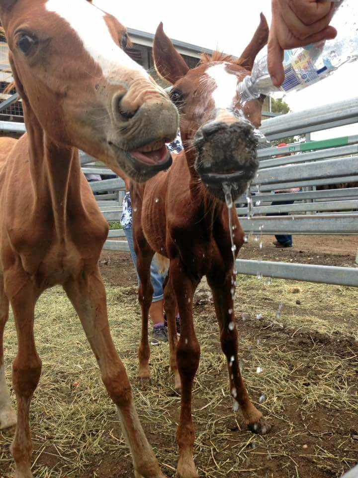 Two skinny foals were given water by concerned onlookers