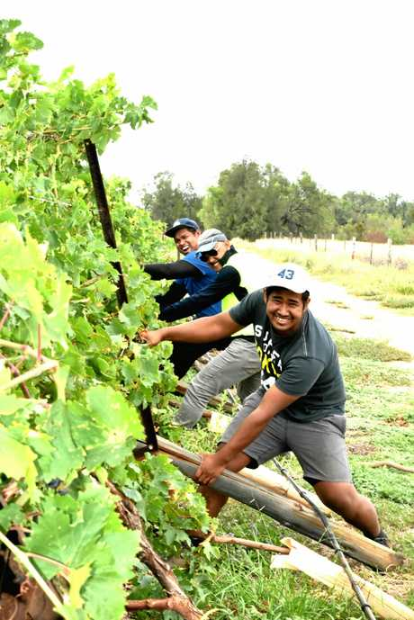STORM DAMAGE: Peter and Donna Haslam's grapevines were pummelled by the Boxing Day storms, with winds in excess of 100km/h.