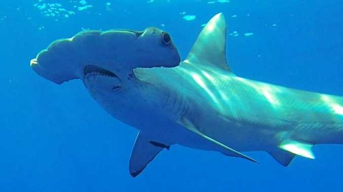 This photo provided by Discovery Channel shows a Great Hammerhead, one of the largest sharks in the world, during an episode of