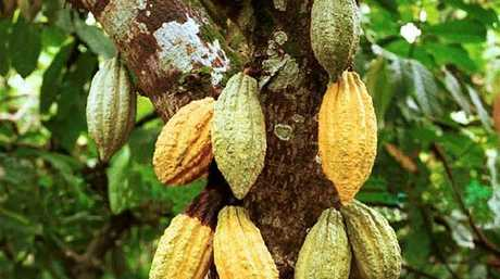 The cacao tree can only thrive in humid rainforest-like conditions.