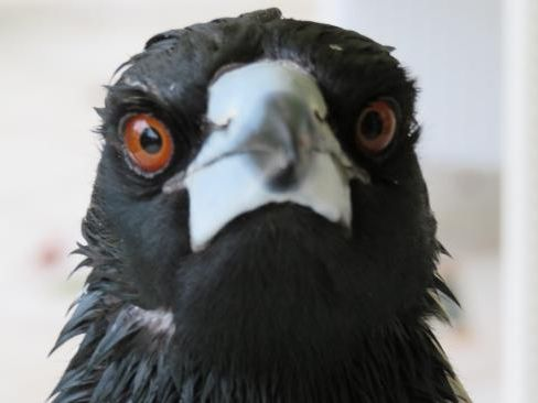 A Woolworths staffer has been awarded $17k after being savagely attacked by a rogue magpie.