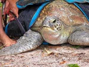 Poona community celebrates successful rescue of turtle
