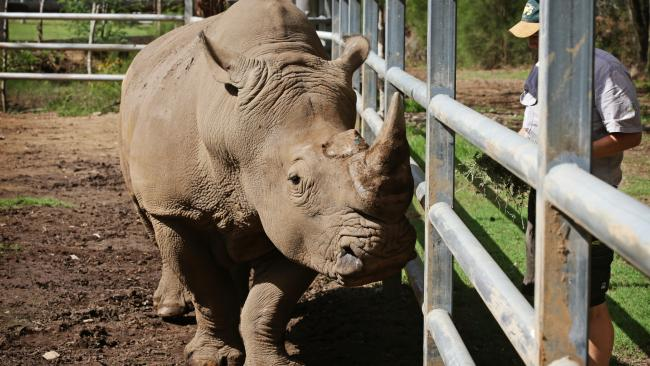 A rhino at Mogo Zoo on the South Coast. Picture: Toby Zerna