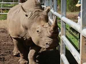 Woman gored by rhino, flown to hospital