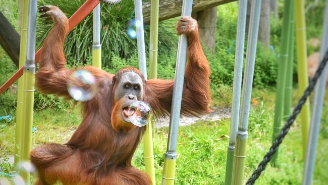 Malu the orang-utan gets a taste of the bubble action before Melbourne Zoo's world record attempt. Picture: Tony Gough