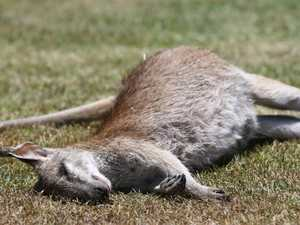 Wallabies shot dead, found on sporting field