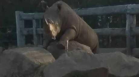 Rhino Kei at Mogo Zoo. Picture: Facebook/MogoZoo