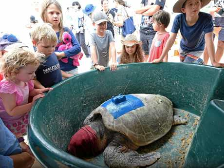 A Loggerhead Turtle was released back into the ocean at Shelly Beach after being fitted with a GPS tracker as part of an ongoing research project.