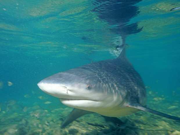 DA-DUM, DA-DUM: Is there a bull shark in Wivenhoe Dam or was it just a big lungfish?