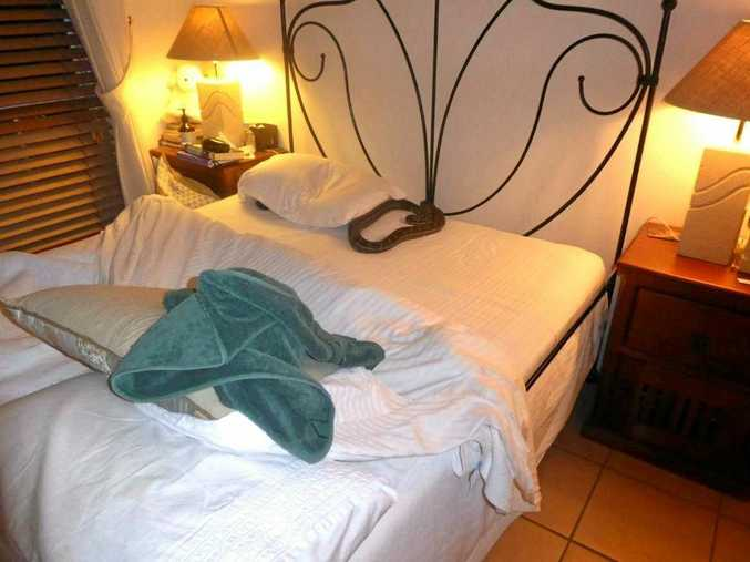 STRANGE BEDFELLOWS: A Eumundi woman woke up to find this carpet python sharing her bed.