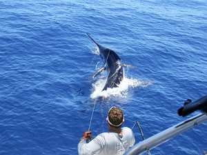 Killing 1000 pound marlin could help conserve species