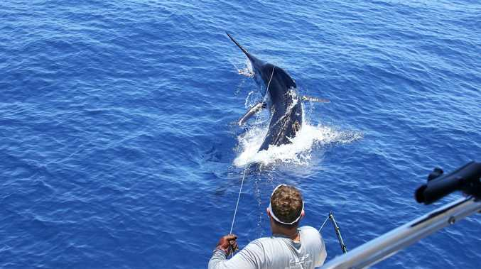 It took Coffs angler Clay Hilbert about four hours to bring in the grander marlin, which weighed more than 1000 pounds.