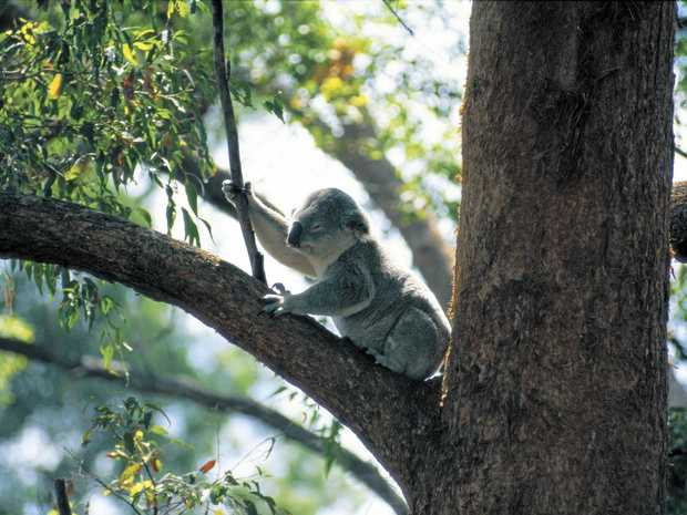 TREE CHANGE: Ruth Lewis said koalas would have a positive future if new developments were well planned.