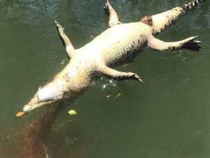 Greedy croc believed to have drowned