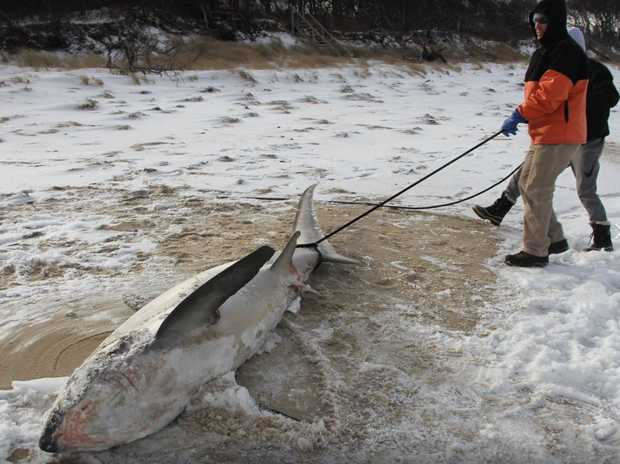 A group pulls a frozen shark from the water in the US.