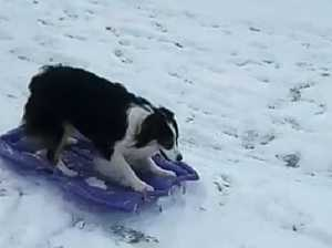 Sledding dog is a viral sensation