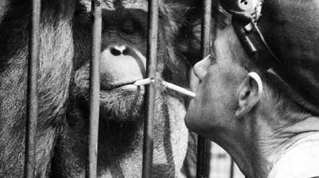 In 1947, Christmas visitors to Melbourne Zoo could visit Tang the orang-utan sipping his tea and puffing his cigarette if they dropped in on him at morning or afternoon tea time.