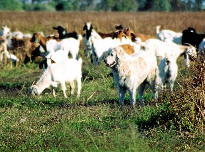 HIGH PRICE: Lower goat number will mean goat meat prices remain high.