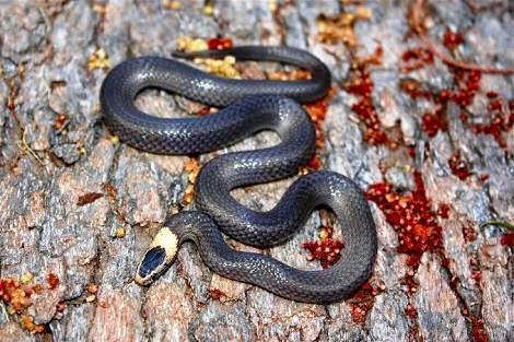 White Crown snake
