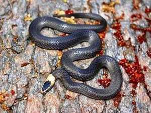 Debunking common snake myths