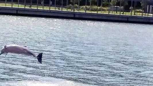 This dolphin was having  a new year celebration of its own on January 1 near Spinnaker Park.