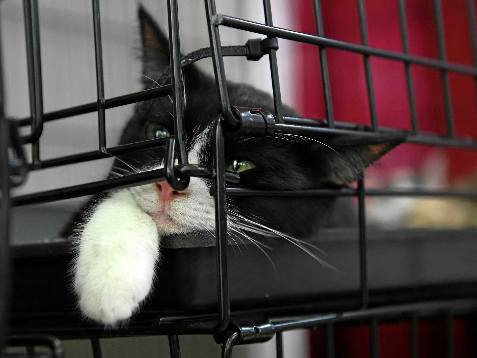 CAT CONNECTIONS: Macy relaxing in her cage and looking forward to finding a new home.