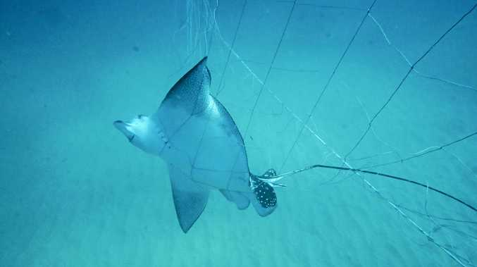 Eagle Ray caught in nets off the North Coast.