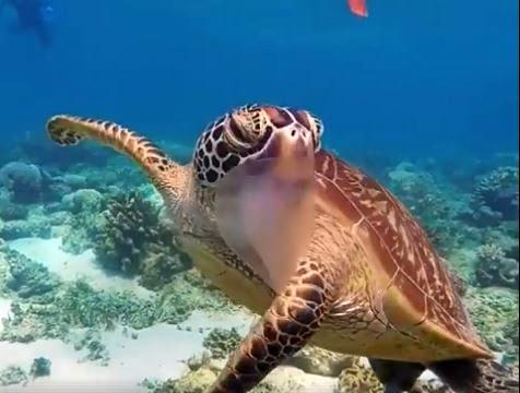 Ocean Safari captured a video of a turtle eating a jellyfish at Mackay Reef.