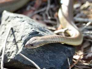 Deadly snake found in Queensland home