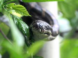More snakes slipping into suburban backyards