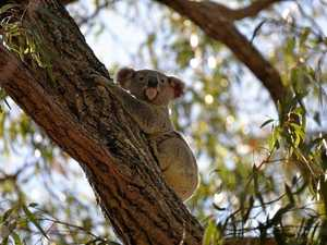 No research needed to save koalas