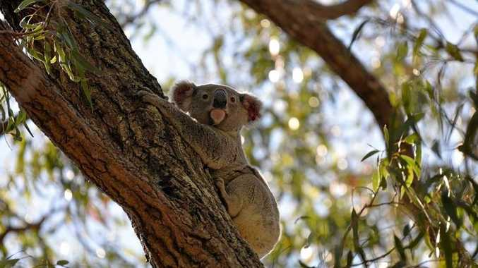 Bouty, a koala rescued from a busy intersection, has returned to a suitable koala habitat.