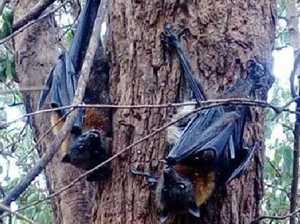 Bats 'boiled' alive in heatwave