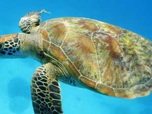 Green turtles face extinction