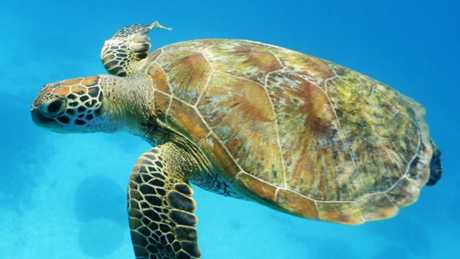 Climate Change Could Turn Great Barrier Reef Turtles All Female