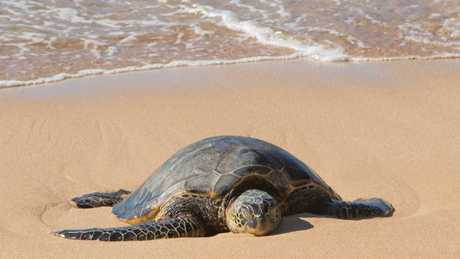 ESCAPE: Discovering Maui's mountains and underwater world story, Kara Murphy - Ho'okipa Honu.Green Sea Turtles. Picture: Supplied