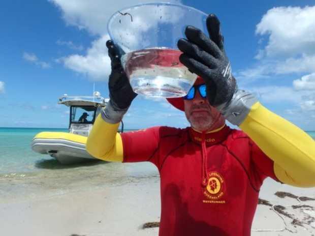 Lifesavers have found Irukandji off Fraser Island.