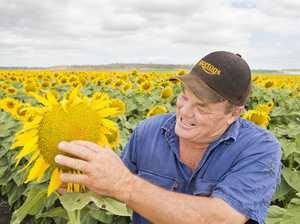 Summertime sunflowers