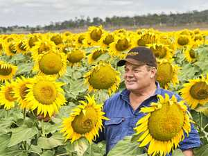 Murray's sunflowers