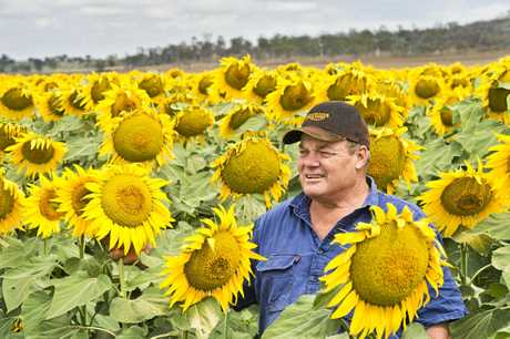 MELLOW YELLOW: Cambooya farmer Murray Todd stands in his 140 hectare field of sunflowers.