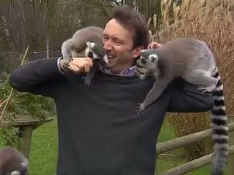 A BBC presenter struggles to maintain composure as he's attacked by lemurs at Banham Zoo in Norfolk, England. Picture: BBC