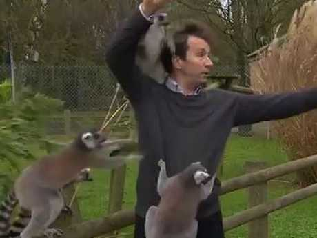 The presenter tries to swat off jumping lemurs during live news report. Picture: BBC