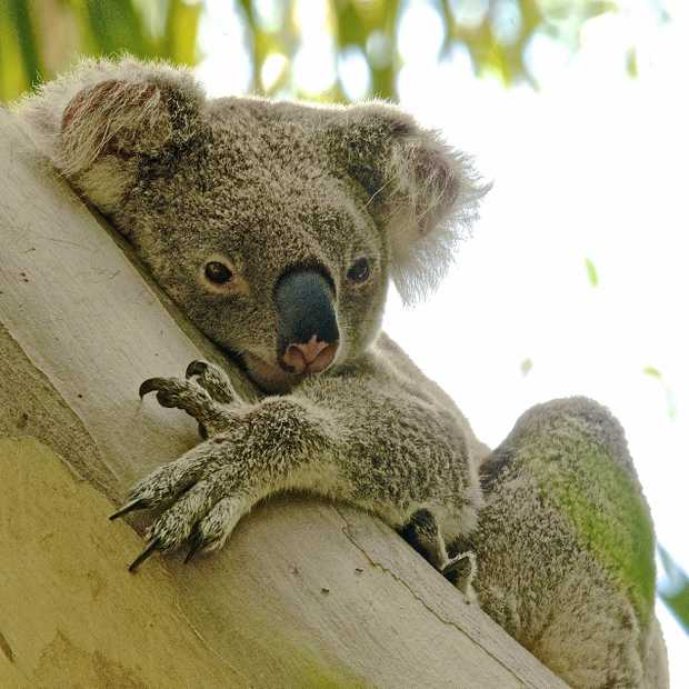 UNWELL: Aggie the koala is being treated for illness at Wacol RSPCA.