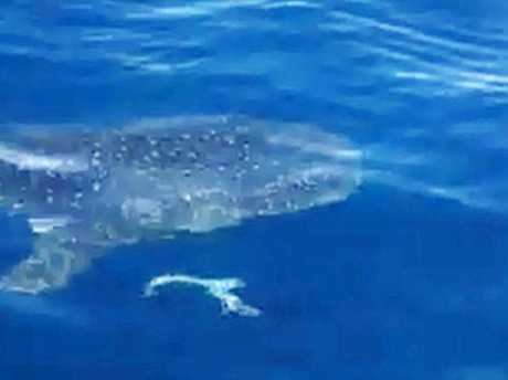 Cousins Matt and Michael Clark had a rare moment with a whale shark swimming next to their boat at Point Cartwright.