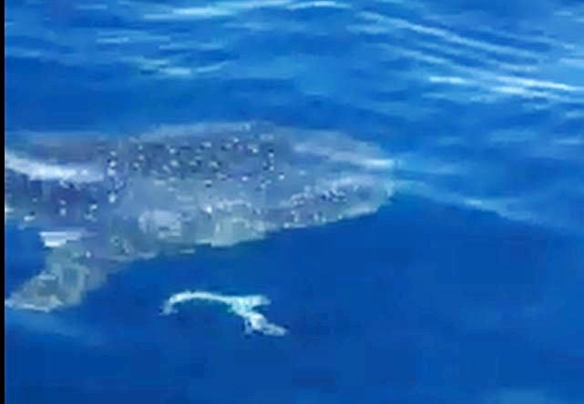 Fishermen in rare encounter with whale shark on Coast