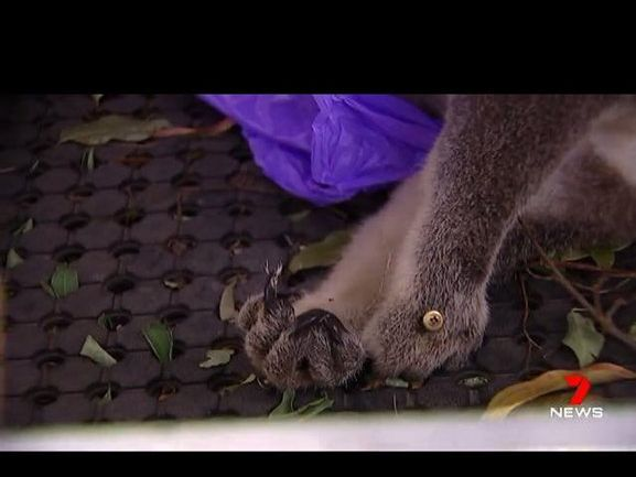 The body of a koala after it was removed from a pole it had been screwed into at Brooloo Park. (Photo courtesy of Channel 7)